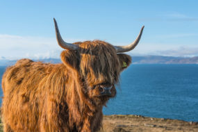 Highland cow on a coastal road